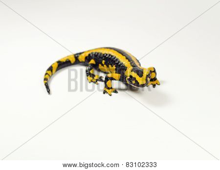 Salamander, Salamandra