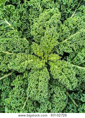 Green Kale Leaves