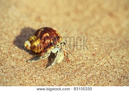 Hermit crab macro photo