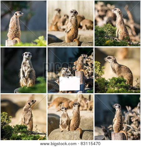 Set photos of a family of meerkats  on a warm autumn evening