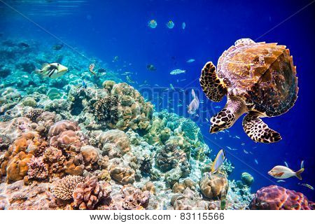 Hawksbill Turtle - Eretmochelys imbricata floats under water. Maldives Indian Ocean coral reef.