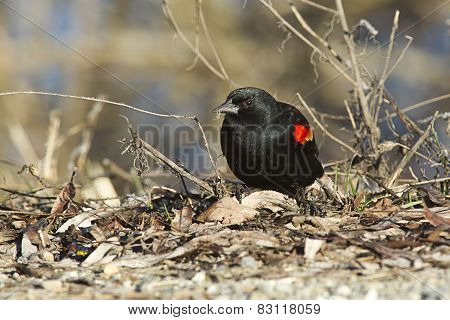 Red Winged Blackbird.
