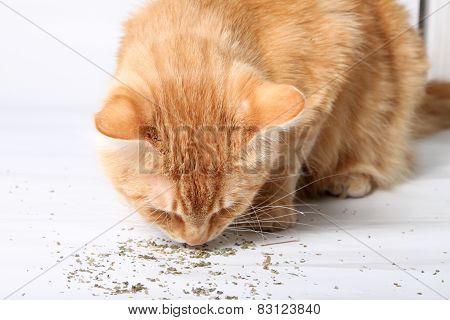 Orange Cat Eating Catnip