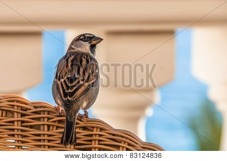Cute Spanish Sparrow Resting On A Chair At An Outdoor Restaurant
