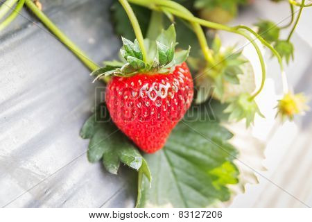 Strawberry Fruits On The Branch