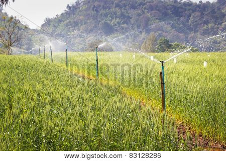 Sprinkler In Rice Field