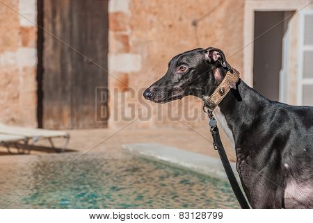 Attentive Greyhound Dog With Collar Keeps A Close Watch