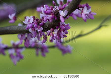 Eastern Redbud Blossom Background