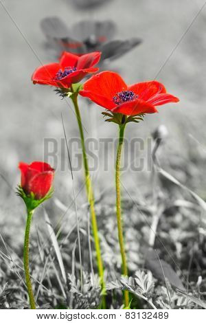 Beautiful Wild Anemone (windflower) For Valentine's Day - Isolated