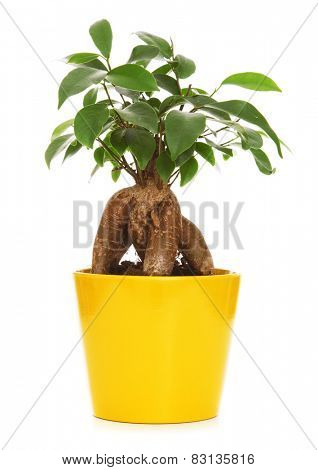 Bonsai plant in a yellow pot isolated on white background