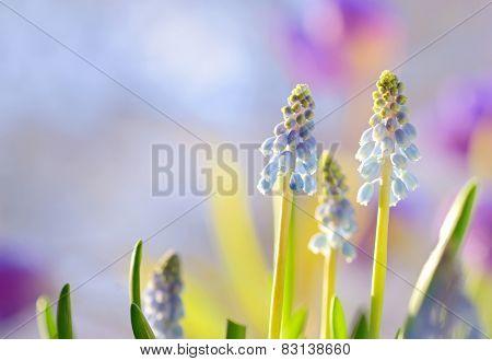 Blue Grape Hyacinth, Muscari armeniacum flowers