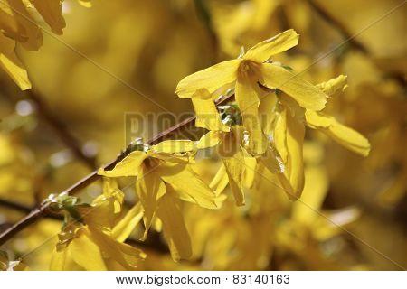 Blooming Forsythia (forsythia Intermedia)