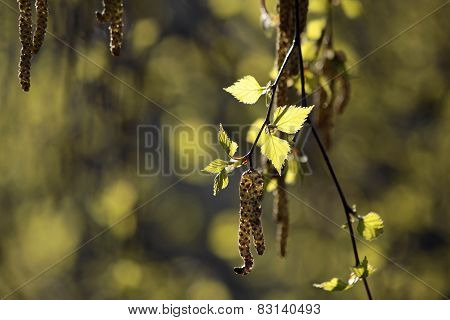 Young Birch Leaves