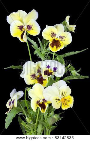 Yellow Pansies For Halloween
