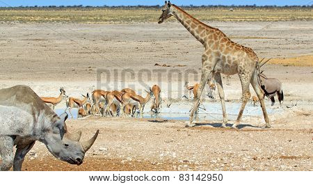 Black Rhino, Giraffe and herd of springbok