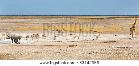 Black Rhino, Giraffe and springbok in Etosha National Park