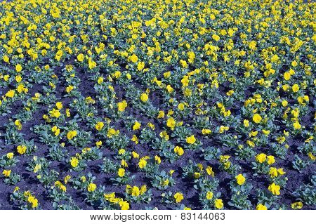 Pansies On Bed Background
