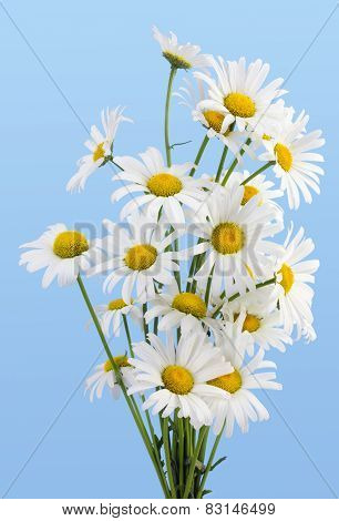 Gentle Daisies  Against The Cyan