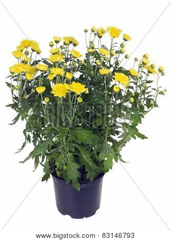 Bush Of Yellow Chrysanthemums