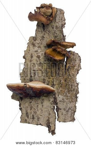 Aspen Bark  With Mushrooms