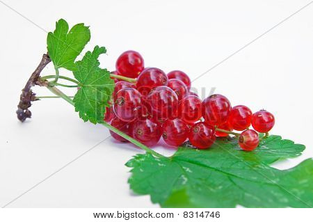 Twig of redcurrants