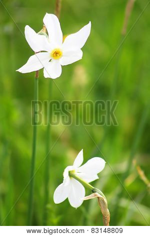 Two Narcissuses In Valley Of Narcissi In Khust, Ukraine