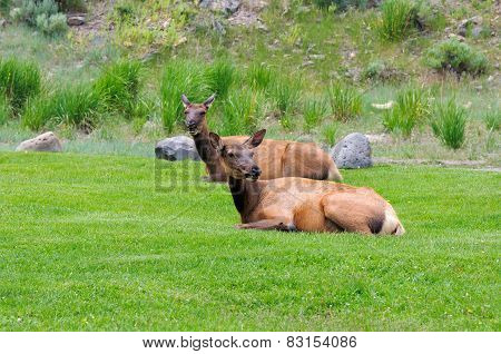 Deer on a green grass in Yellowstone
