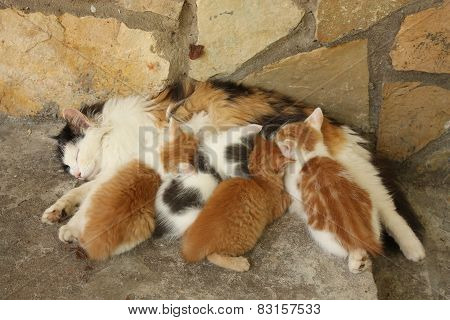 Mother Cat And Her Kittens Resting Together