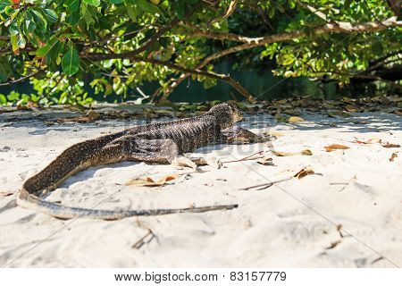 Lizard On A Beach Of The Philippines, Palawan Water Monitor