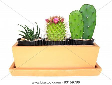 Cactus ( Pereskia , Echinocactus , Opuntia )  Isolated Background ( Cereus Hexagonus Mill )