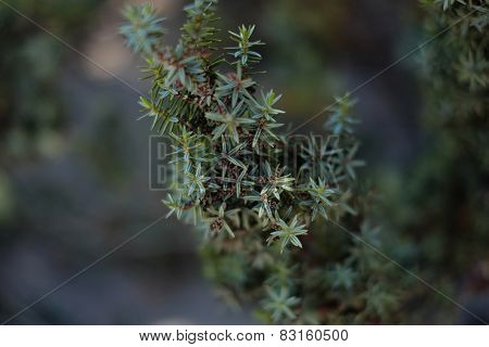 Juniper On A Natural Background