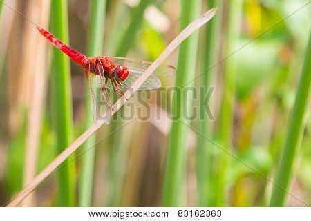 Red dragonfly looking at the camera and green background