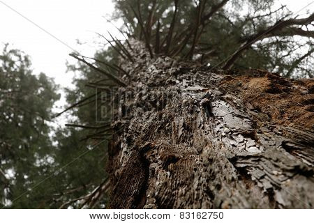 Layered bark of a pine tree