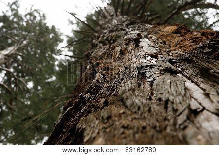 Layered Bark Of Pine