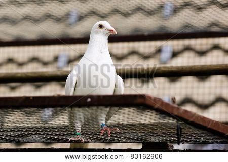 White Dove In Breeding Cage