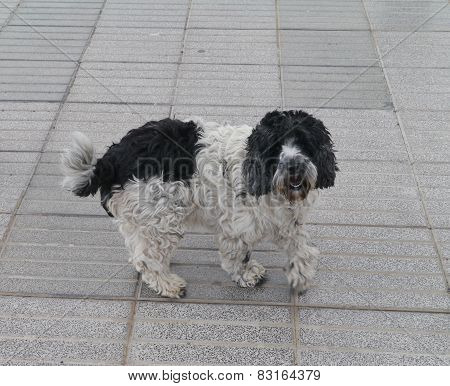 An enthousiastic black and white dog