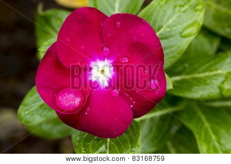 Red Cape Periwinkle, Vinca And Drop