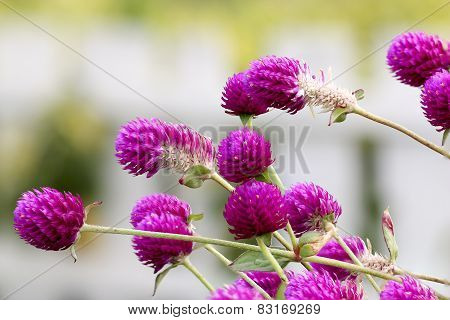 Globe Amaranth Or Bachelor Button