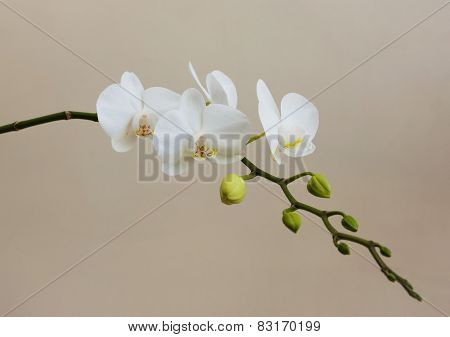 White Opening Orchid
