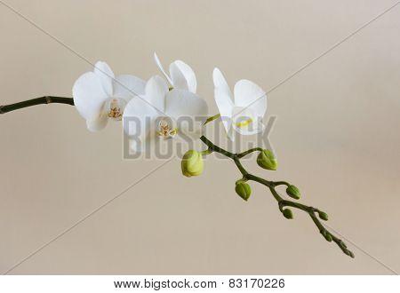White Phalaenopsis Flowers