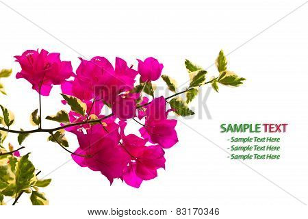 Bougainvillea Branch Isolated On White Background