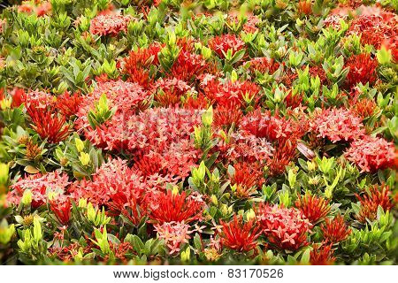 Red Ixoras And Leaves