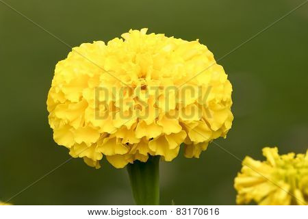 Yellow Marigold On A Natural Background