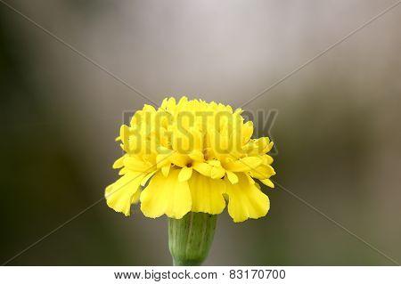 Close Up Yellow Marigold