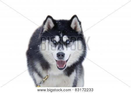 Close-up Head Of Husky With Blue Eyes