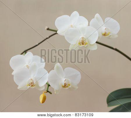 White Phalaenopsis Flower