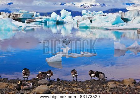 Yokulsarlon Glacial Lagoon in Iceland. Floes floating in the ocean, and polar birds on the shore of the lagoon are reflected in the ocean