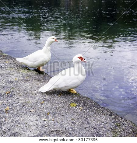Wild gooses over the Adda river banks. Color photo