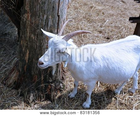 White Horned Goat On The Farm