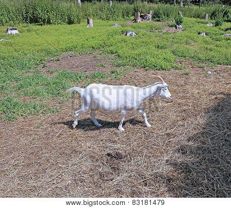 White Horned Goat On The Farm